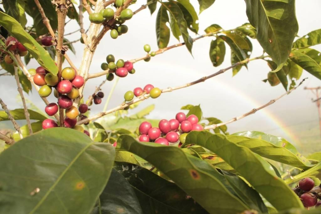Indonesie Trenggiling: 1000 g