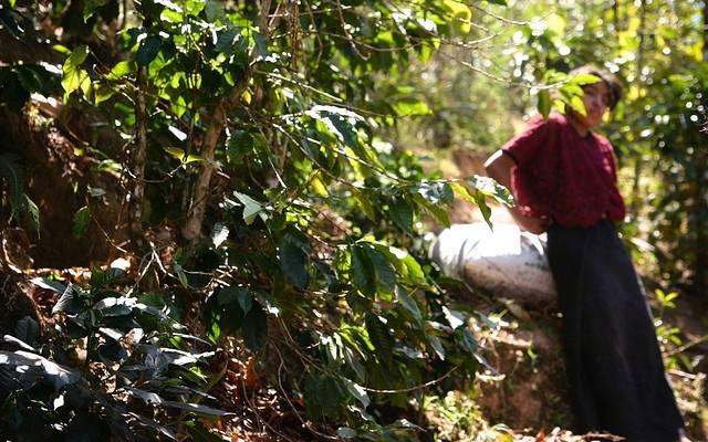 Mexiko Chiapas Altura: 1kg